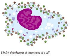 [Figure 19: Electric double layer at membrane of cell]